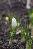 A primeira mola floresce em um dia nevado Fotos de Stock