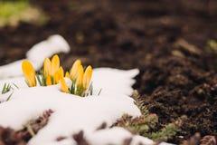 A primeira mola floresce na neve com espaço da cópia Imagens de Stock