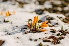 A primeira mola floresce na neve com espaço da cópia Fotografia de Stock Royalty Free