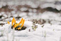 A primeira mola floresce na neve com espaço da cópia Foto de Stock Royalty Free