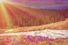 A primeira mola floresce nas montanhas e na neve branca Fotos de Stock Royalty Free
