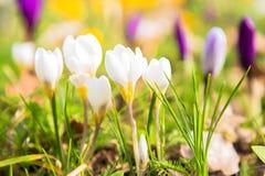 A primeira mola floresce o açafrão Fundo floral brilhante da mola Fotografia de Stock
