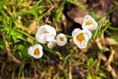 A primeira mola floresce o açafrão Fundo floral brilhante da mola Fotografia de Stock Royalty Free