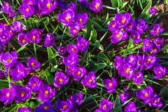 A primeira mola floresce o açafrão Fundo floral da mola Fotos de Stock Royalty Free