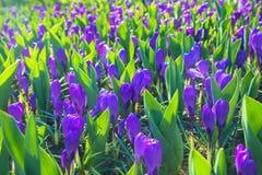 A primeira mola floresce o açafrão Fundo floral da mola Imagem de Stock