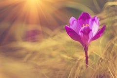A primeira mola floresce o açafrão na luz solar Imagem de Stock Royalty Free