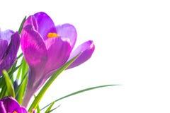 A primeira mola floresce - o ramalhete de açafrões roxos Fotos de Stock
