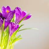 A primeira mola floresce - o ramalhete de açafrões roxos Foto de Stock Royalty Free