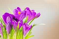 A primeira mola floresce - o ramalhete de açafrões roxos Imagem de Stock