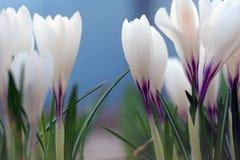 A primeira mola floresce os açafrões brancos floresceu Fotos de Stock