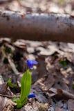 A primeira mola floresce snowdrops azuis fotos de stock royalty free