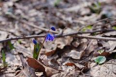 A primeira mola floresce snowdrops azuis imagem de stock