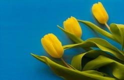 A primeira mola floresce, tulipas amarelas no fundo azul fotos de stock