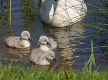 Primeira nadada dos pintainhos dias de idade do cisne novo foto de stock