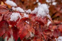 primeira neve do inverno em arbustos com folhas vermelhas fotos de stock royalty free