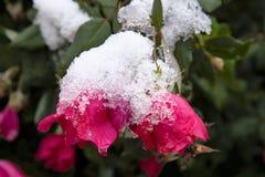 Primeira neve do inverno no arbusto cor-de-rosa foto de stock royalty free