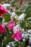 Primeira neve do inverno no arbusto cor-de-rosa imagem de stock