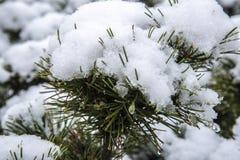 primeira neve do inverno no arbusto do pinho fotografia de stock royalty free
