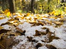 Primeira neve do outono nas folhas de bordo caídas com os vagabundos unfocused das árvores Imagem de Stock Royalty Free
