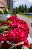 Primeiramente florescência das flores no verão fotografia de stock