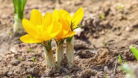 Primeiras flores amarelas do açafrão, açafrão da mola video estoque