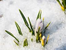 Primeiras flores azuis do açafrão na neve, açafrão da mola Fotos de Stock Royalty Free
