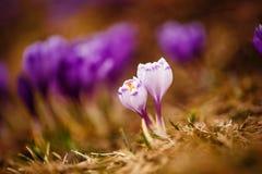 primeiras flores bonitas da mola Vista de açafrões brancos de florescência do close-up Foto de Stock