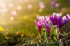 primeiras flores bonitas da mola Vista de açafrões violetas de florescência do close-up Imagem de Stock Royalty Free