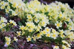 Primeiras flores da mola Imagens de Stock Royalty Free