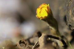 Primeiras flores da mola Foto de Stock Royalty Free
