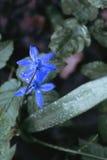Primeiras flores da mola Imagem de Stock
