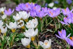 Primeiras flores da mola Açafrões e uma abelha Fotos de Stock Royalty Free