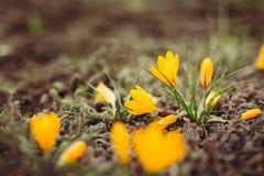 Primeiras flores da mola com espaço da cópia Imagem de Stock Royalty Free