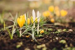 Primeiras flores da mola com espaço da cópia Fotos de Stock
