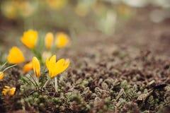 Primeiras flores da mola com espaço da cópia Imagem de Stock