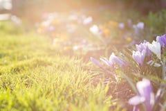 Primeiras flores da mola com espaço da cópia Foto de Stock