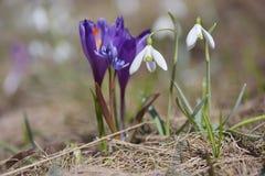 Primeiras flores da mola em um prado da montanha Foto de Stock