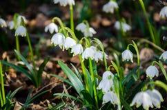 Primeiras flores da mola Flores de Snowdrops em um fundo da Foto de Stock