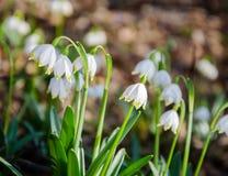 Primeiras flores da mola Flores de Snowdrops em um fundo da Foto de Stock Royalty Free