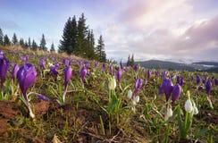 Primeiras flores da mola nas montanhas Fotografia de Stock