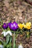 Primeiras flores da mola no jardim Fotografia de Stock Royalty Free