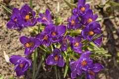 Primeiras flores da mola, prímula Florescência dos açafrões, das abelhas e dos zangões violetas, no ano passado folha do ` s Mola Fotos de Stock