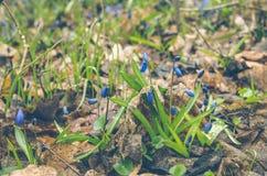 Primeiras flores da mola Snowdrops da floresta Foto de Stock Royalty Free