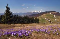 Primeiras flores da montanha Foto de Stock Royalty Free