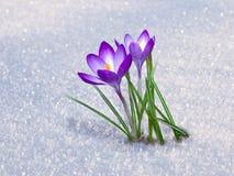 Primeiras flores do açafrão Imagem de Stock Royalty Free