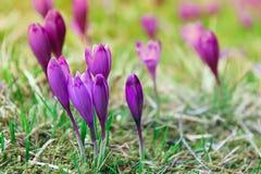 Primeiras flores do açafrão da mola Imagens de Stock