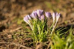 Primeiras flores do açafrão na mola na perspectiva da folha velha Foco macio fotos de stock