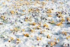 Flores do açafrão na neve Imagem de Stock Royalty Free