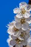 Primeiras flores do abricó Imagens de Stock