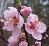 Primeiras flores do pêssego em Geórgia Imagem de Stock Royalty Free